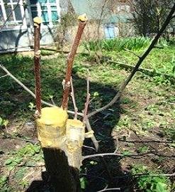 Щеплення плодових дерев.