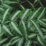 Птеріс, умови його вирощування і догляд