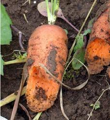 Хвороби і шкідники моркви, боротьба з ними