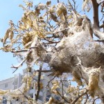 Пильщик - шкідник плодових дерев