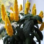 Пахистахис жовтий, догляд, розмноження.