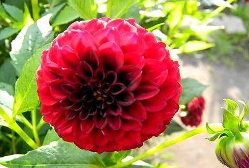 Айстри - квіти, вирощування.