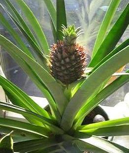Вирощування ананасів в домашніх умовах