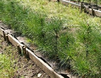 Як виростити кедр з насіння?