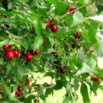 Кизил і його вирощування