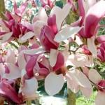 Магнолія — дерево, його розмноження і догляд.