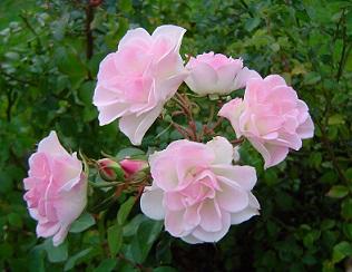 Хвороби троянд.