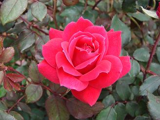 Троянда садова
