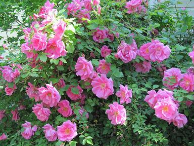 Троянди ругоза