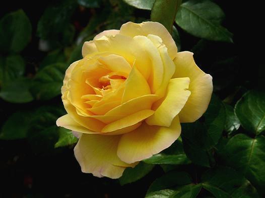 Поширені сорти троянд