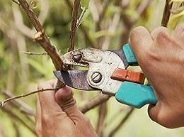 Осіння обрізка вишні