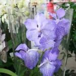 Чому сохне орхідея?
