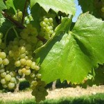 Мінеральні підживлення для винограду