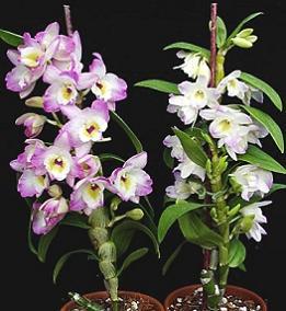 Орхідея дендробіум - догляд.