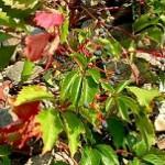 Виноград дівочий (Parthenocissus quinquefolia), використовується як декоративний, його розмноження