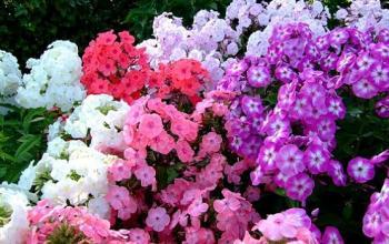 Садові флокси із насіння.