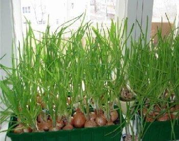 Вирощування зеленої цибулі на підвіконні