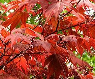 Японський клен (червоний), його догляд