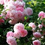 Плетисті троянди - посадка, догляд