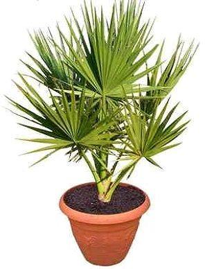 Пальма вашингтонія, види і догляд