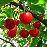 Пересадка вишні восени, інструкція і правила