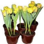 Тюльпани в домашніх умовах - вирощування