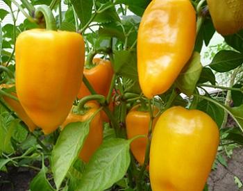 Вирощування перцю в теплиці.