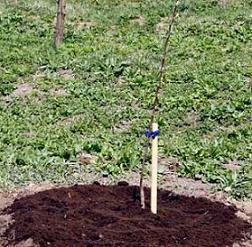 Як посадити яблуню восени - інструкція