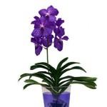 Орхідея ванда, догляд за нею