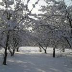 Догляд за фруктовими деревами взимку
