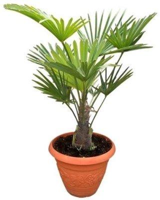 Трахикарпус Форчуна або японська віялова пальма.