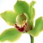 Біологічні особливості орхідей, опис