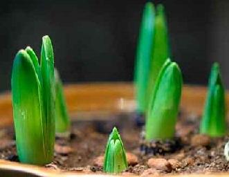 Вигонка рослин - агротехнічні заходи