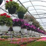 Вирощування квітів у теплиці, технологія.