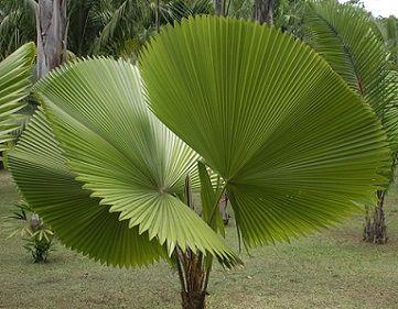 Лікуала пальма - догляд.