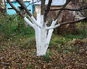 Побілка дерев восени, підготовка до зими