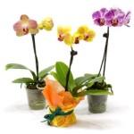 Догляд за міні-орхідеями