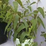 Евкаліпт - дерево, вирощування з насіння