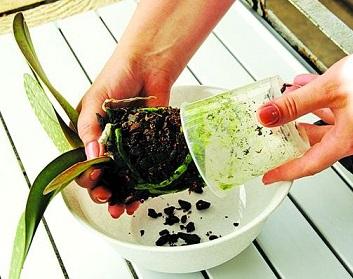 Як пересадити орхідею - інструкція