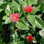 Аптенія, догляд і вирощування