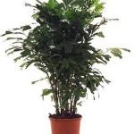Кариота - пальма, догляд і пересадка