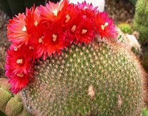 Пародія - невибагливий кактус у догляді
