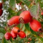 Шипшина — вирощування і розмноження