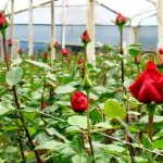 Троянди в теплицях - вирощування та доглядТроянди в теплицях - вирощування та догляд