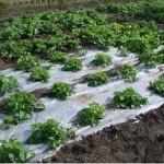Важливість мульчування ґрунту на грядках