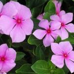Катарантус рожевий, вирощування