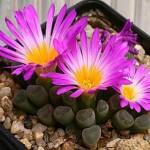 Фрітія - цвітіння і догляд.