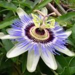 Маракуйя, або пасифлора їстівна