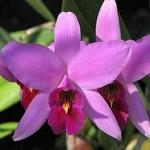 Орхідея каттлея - догляд.