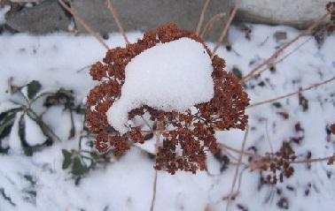 Очиток під снігом